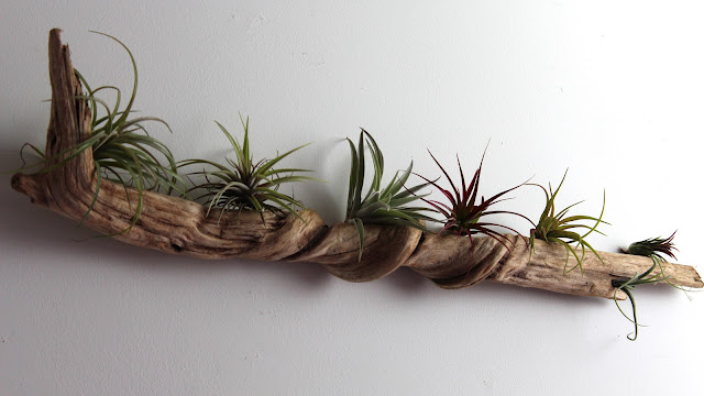 Diy west elm style bubble air plants tauni co - Idee deco bois flotte ...