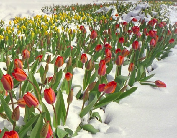 Tulips snow